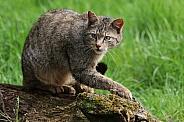 Wild cat (Felis silvestris)