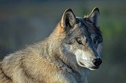 Wolf - Tundra Wolf Portrait