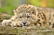 The Thinker - Snow Leopard