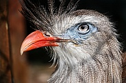 Red Legged Seriema Bird Close Up Face Shot