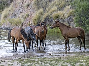 Wild horses drinking water at sunset