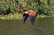 Black-Collared Hawk Flying