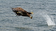 White Tailed Sea Eagle with Catch