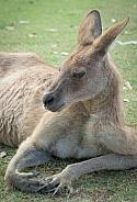 Red Kangaroo Lying Down