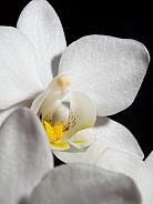 Mini Phalaenopsis Orchid Macro