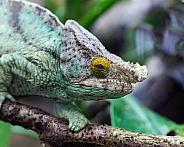 mellors chameleon
