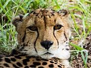 Cheetah portrait.