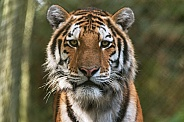 Amur Tiger Close up