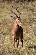 Impala Antelope - Okavango Delta - Botswana