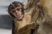Barbary Macaque Baby