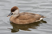 Red Crested Pochard (Female)