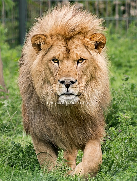 African Lion Stalking Head On