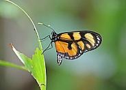 Melantho Tigerwing