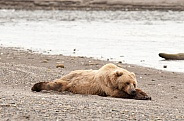 Brown Bear sleeping on a beach