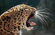 Nothern Chinese Leopard