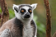 Ring Tailed Lemur Close Up Face Shot