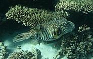 Stars and Stripes Pufferfish