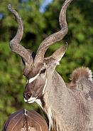 Kudu Antelope - Botswana