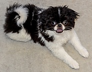 Japanese Chin Puppy