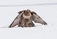 Red Tail hawk with a rabbit catch