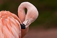 Close Up Chilean Flamingo