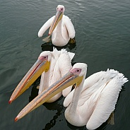 Great White Pelicans - Welvis Bay - Namibia