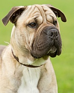 Shar Pei Cross