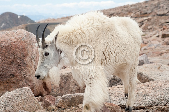 Wild mountain goat nanny