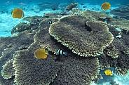 Coral reef - Maldives
