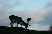 deer (fallow buck)