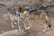 Mexican Grey Wolf - Male and Female