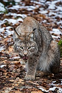 Lynx licking his paw