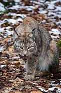 Lynx licking his paw