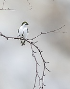 Violet-green Swallow Perching on a Branch