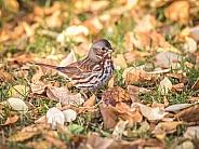 Red Fox Sparrow in Alaska