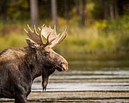 Bull Moose in Henrys Fork River.