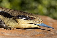 Eastern blue-tongued lizard.