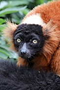 red lemur