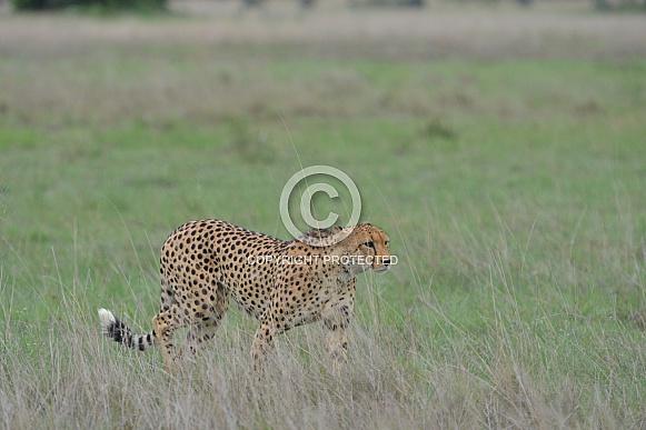 Cheetah on the move
