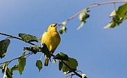 Male Yellow Warbler Singing in Alaska