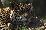Jaguar Head On Rock Asleep