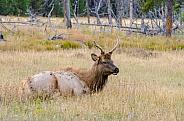 Young Bull Elk in Meadow