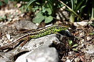 Male sand lizard - Lacerta agilis