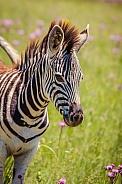 Burchell's Zebra Foal