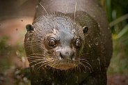 Giant Otter Face Shot Close Up