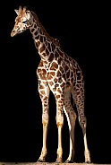 Rothschild's Giraffe Calf Full Body Black Background