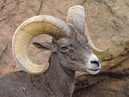 Big Horn Sheep - Ram