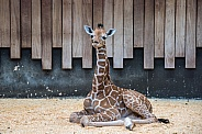 Giraffe Calf (2 weeks old)