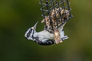 Female Hairy Woodpecker Eating Suet