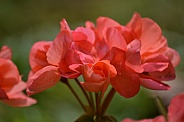 Coral coloured Geraniums